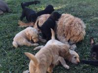 Adorable Goldendoodle puppies. Beans, the French