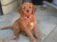 gorgeous Goldendoodle puppies we have two girls and 1