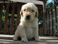 We have Goldendoodle puppies, they would be ready after