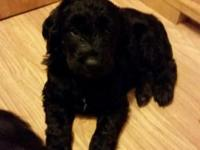 Just 4 male goldendoodles left!! 3 black males and 1