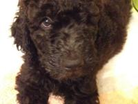 Beautiful F1B goldendoodles that will be 8 weeks old on