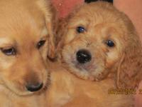 First Generation of 2 AKC Parents, Golden Retriever Mom