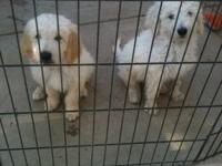 Our Goldendooodle puppies were whelped on May 17th and