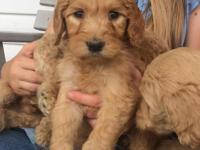We have 4 beautiful Goldendoodle Puppies for sale. They