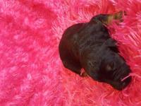 Goldendoodle puppies for sale,2 ghost colored,1 black,4