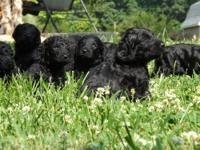 Beautiful F1-B CKC registered Goldendoodles will be