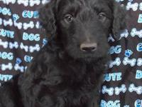These rare black Goldendoodle puppies are