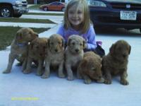 I have 1 Female F1 Goldendoodle Cream in color and 2