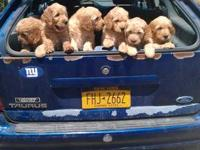 Beautiful Goldendoodle puppies available. Males and