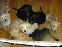 Goldendoodle puppies born Dec 7, 2012 will be ready for