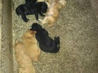 F1 Goldendoodle puppies 3 females (light golden,