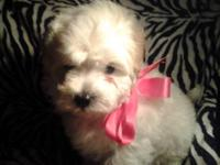 Beautiful miniature goldendoodle puppies! We have an