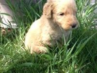 I have 2 litters of Goldendoodles born. Honey's