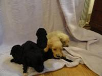 I have a litter of Goldendoodle puppies born 6/18/13.