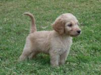 We have 3 sweet-tempered, beautiful Goldendoodle male
