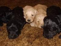 goldendoodle puppies 4 males 1 tan 3 black & 2 black