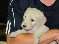 Goldendoodle F1b. Mom is a Goldendoodle and was bred to