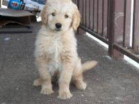 Welcome to my home of Goldendoodles,Up coming litter