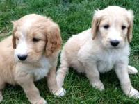 F1 GoldenDoodle Puppies ready for Thanksgiving