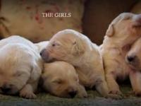 GOLDENDOODLE PUPPIES. REQUIREMENT DIMENSION MANY SERUM