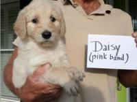 Attractive guy Goldendoodle young puppies. Daisy and