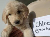 Lovely female Goldendoodle new puppies. Chloe and Riley