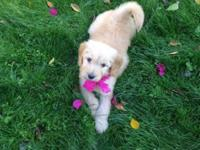 We have lovable Goldendoodle new puppies readily