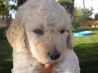 Goldendoodle Puppies ... F1 and F1b's. These puppies