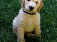 * Sweet and definitely lovable Goldendoodle puppies,