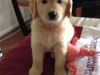 Lovely Goldendoodle Puppies For Sale 4 Male & & 1