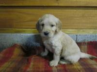 Spirited male Goldendoodle young puppy signed up