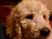 Beautiful, loving, low shed F1b Goldendoodle puppies