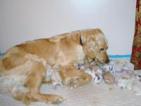 We have 12 beautiful Goldendoodel puppies. They were