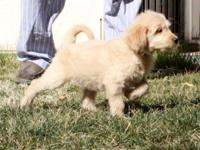 Gorgeous Goldendoodle babies, taking deposits! We have