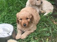 We have 2 precious light red girl goldendoodle babies.