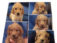 Beautiful Goldendoodle puppies. Ready for their forever