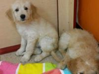 I Have 2 Female and 1 Male Goldendoodle . 10 Weeks old