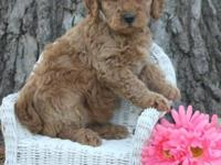 Champions of the Heart has available 5 Goldendoodle