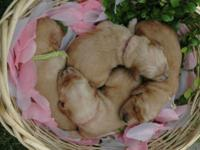 Our dog delivered 10 beautiful Goldendoodles on May 29,