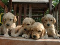 Beautiful, healthy Goldendoodle puppies born May 29,