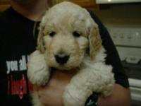 F1-B (mom Golden Doodle, dad Standard Poodle) Born June