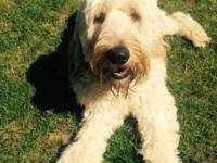 Goldendoodle (F1b) will have a higher success rate for