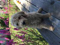 Adorable litter of 1st generation Goldendoodles!! 3