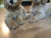 F1 Goldendoodle puppies ready for their forever homes!