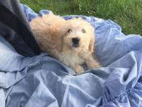 Litter of six goldendoodle puppies. 10 weeks old.