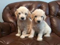 We have 2 female and 3 male golden doodle puppies that