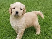 F1 GOLDENDOODLE PUPPIES! Vaccinated, wormed, dew claws
