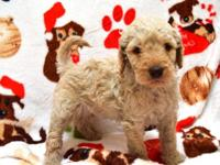 Goldendoodle puppies. Vet checked, First Shots,