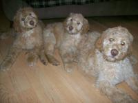 Beautiful, happy Goldendoodle puppies available now.