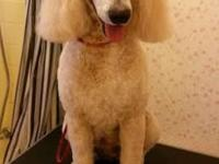F1 Goldendoodles due February 6th - ought to be all set